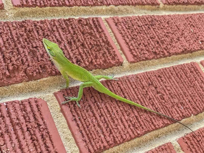 Lizard climbing a red brick wall royalty free stock image