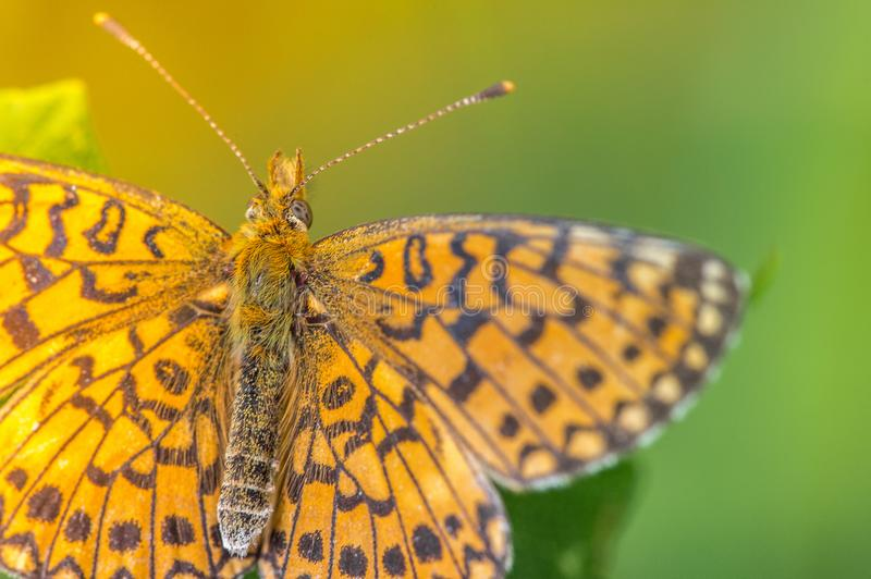 Insect butterfly pearly orange and black bramble on yellow and green background close-up. Its wings form a very graphic design and its colors contrast with the royalty free stock photos