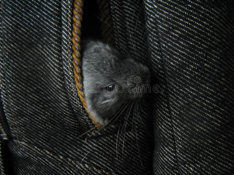 Ittle gray newborn chinchillas look out of coat pocket. Offspring Little fur funny cute home animal chinchilla. Little gray newborn chinchillas look out of coat royalty free stock photos