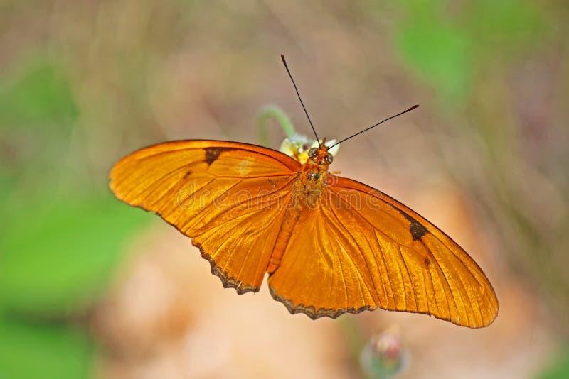 Iulia del dryas de la mariposa de la antorcha en Cuba imagenes de archivo
