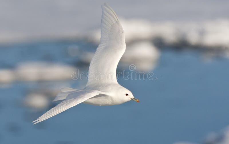 Ivoormeeuw, Ivory Gull, Pagophila eburnea royalty free stock photos