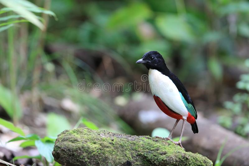 Ivory-breasted Pitta in Halmahera Island, Indonesia royalty free stock image