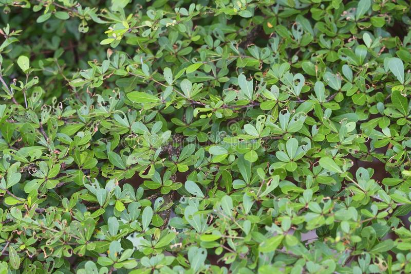 Ivory coast almond branch texture background stock photos