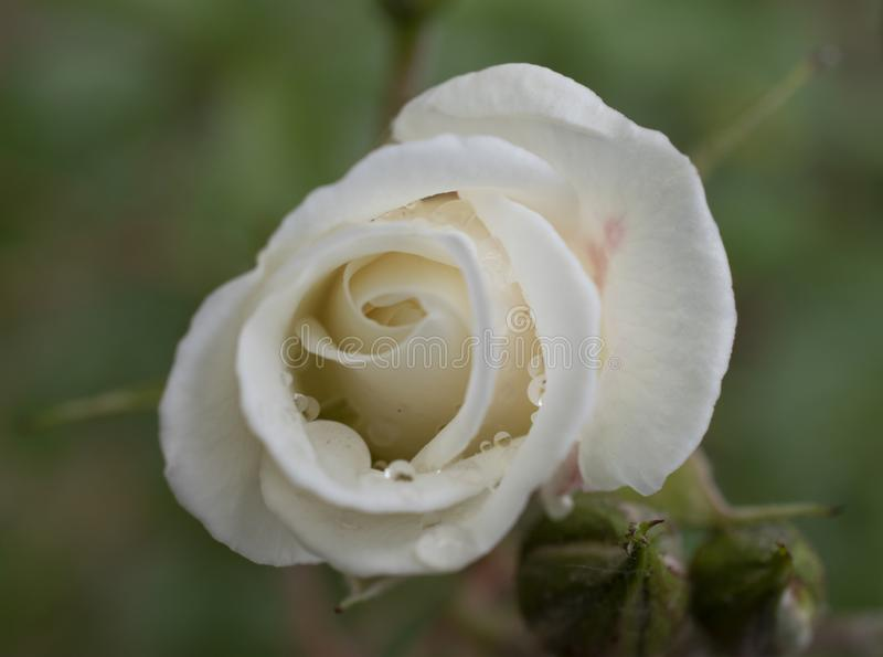 charm of  ivory rose with water drops of dew stock images