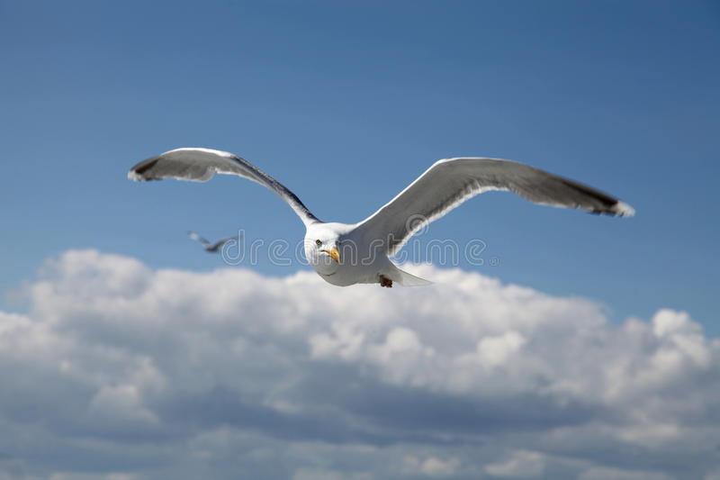 Ivory Gull royalty free stock image
