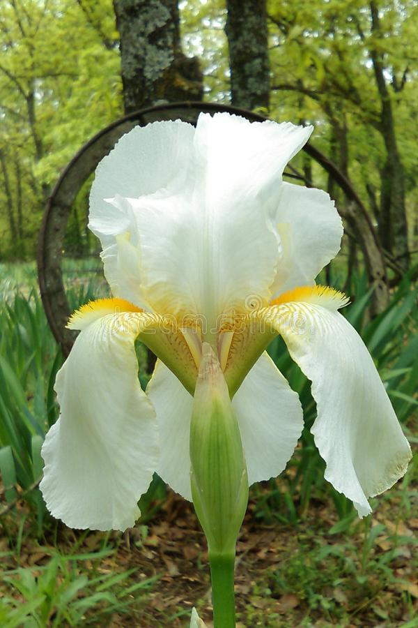 Ivory Snow. The iris are well know for their beauty and large blooms. They come in an variety of colors. They are planted as bulbs in the fall and show the first stock images