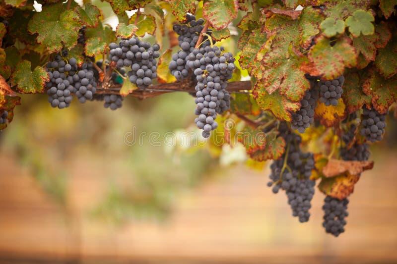 Ivrogne, raisins de cuve mûrs sur la vigne photo libre de droits