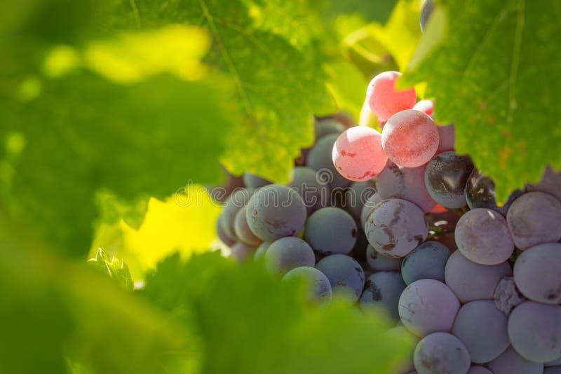 Ivrogne, raisins de cuve mûrs sur la vigne prête pour la moisson images libres de droits