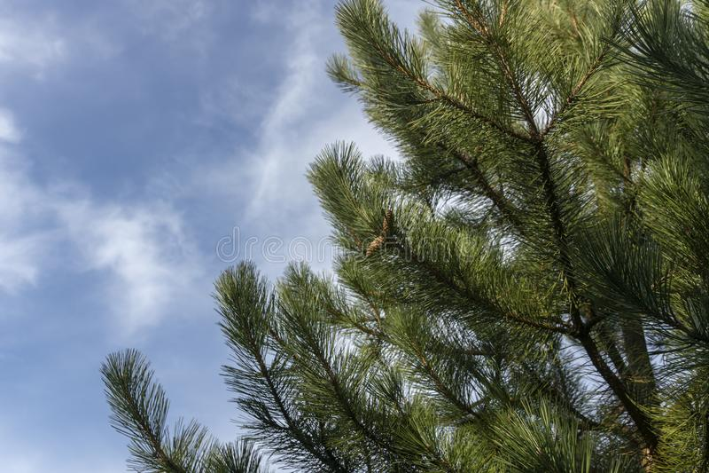 Ivrogne vert-fonc? des branches du pin autrichien, ou pin noir, Pinus nigra avec des c?nes contre le ciel bleu photographie stock libre de droits