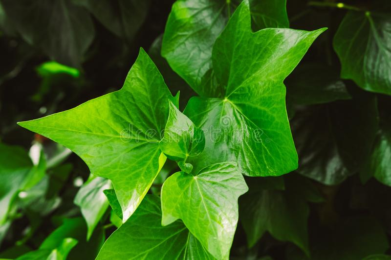 Ivu leaf. Fresh green branch of ivy. Close up royalty free stock images