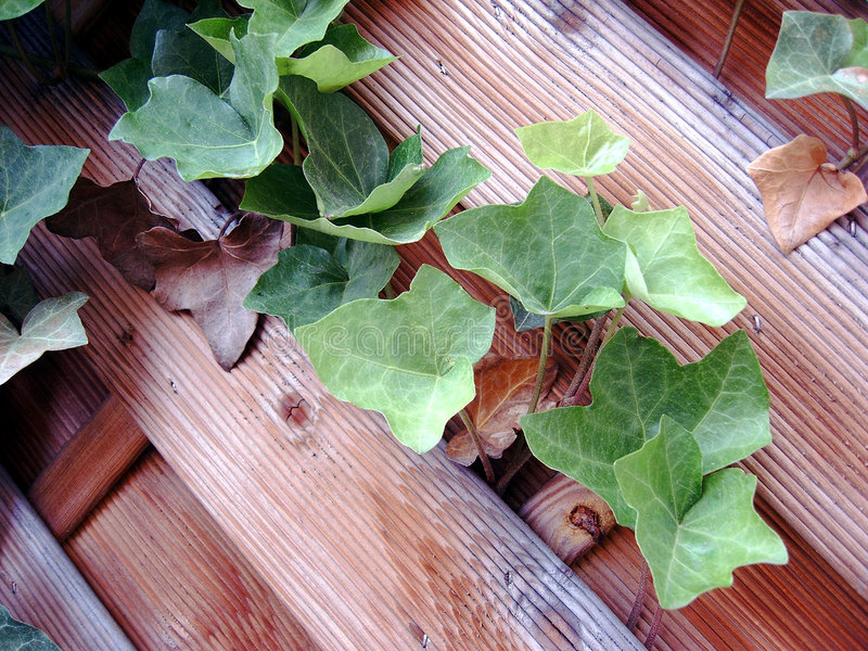 Download Ivy stock image. Image of nature, texture, plant, leaf, fencing - 871