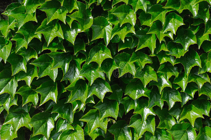 Download Ivy stock photo. Image of freshness, outdoor, structure - 14867922