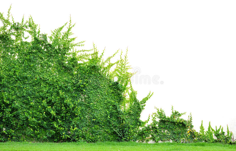 Download Ivy stock image. Image of back, yard, plant, wall, green - 26160987