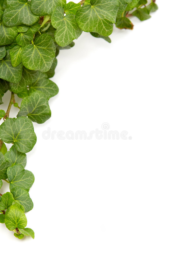 Free Ivy Stock Photography - 3548742