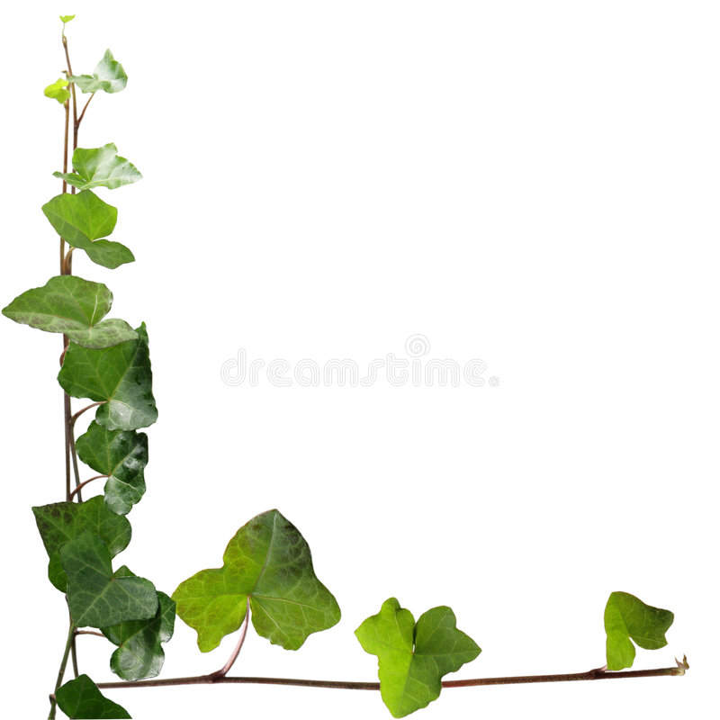 Download Ivy stock image. Image of plant, branch, twig, detail - 7141623