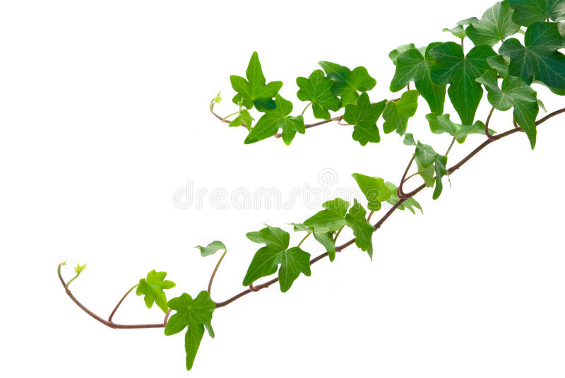 Ivy royalty free stock image