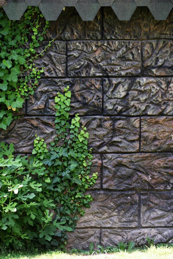 Ivy and adorable background on the wall royalty free stock photography