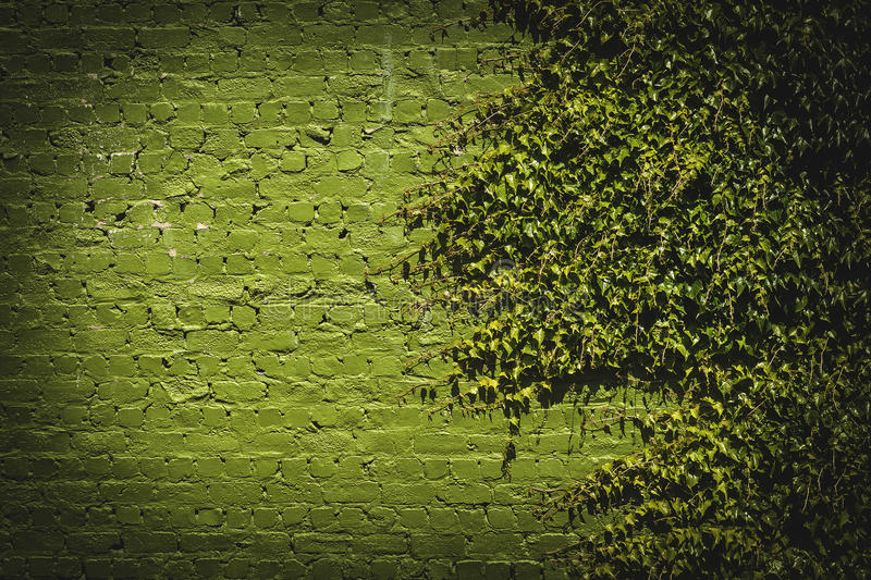 Ivy attacks. Green ivy on green brikwall, horizontal photograph stock images