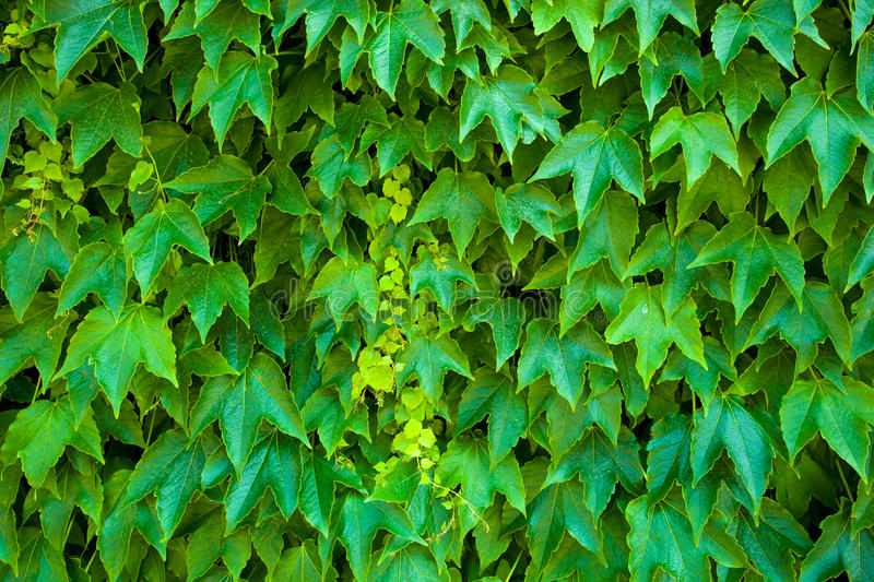Download Ivy background stock image. Image of outdoor, detail - 14857119
