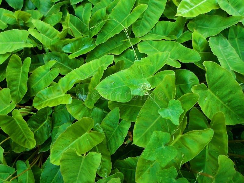 Ivy Background tropical verde fresca fotografía de archivo libre de regalías