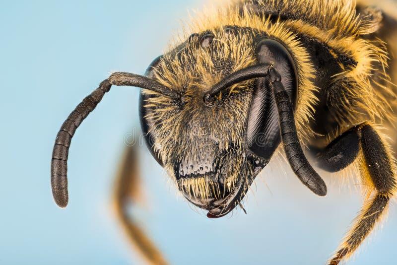 Ivy Bee, ape, hederae di Colletes immagini stock