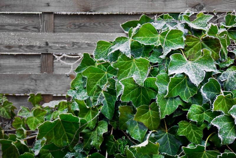 Ivy beklimt op houten muur in de tuin v stock foto