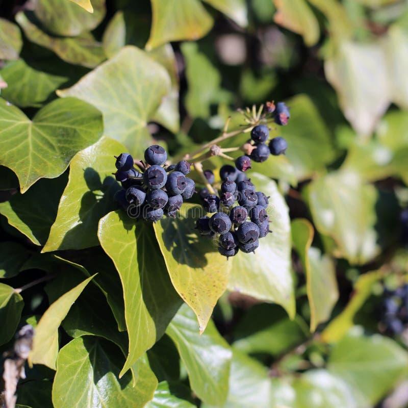 Ivy Berries och gröna Ivy Leaves fotografering för bildbyråer