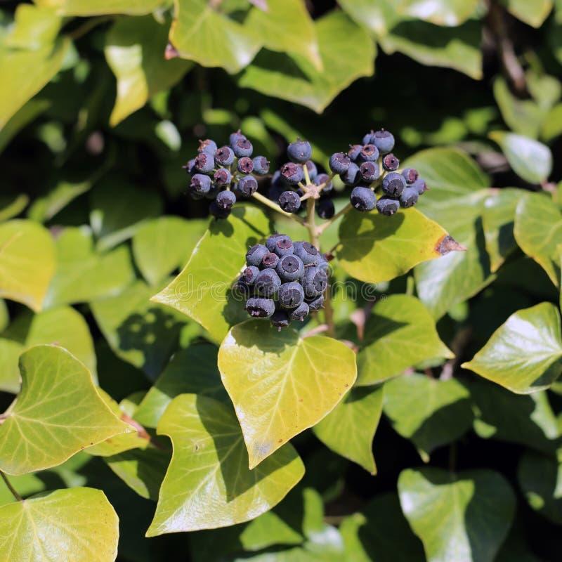 Ivy Berries och gröna Ivy Leaves royaltyfri fotografi