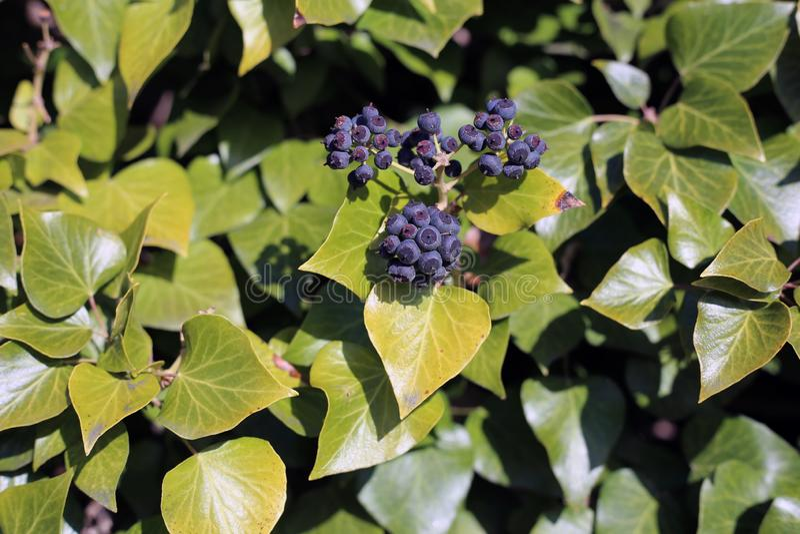 Ivy Berries och gröna Ivy Leaves royaltyfria foton