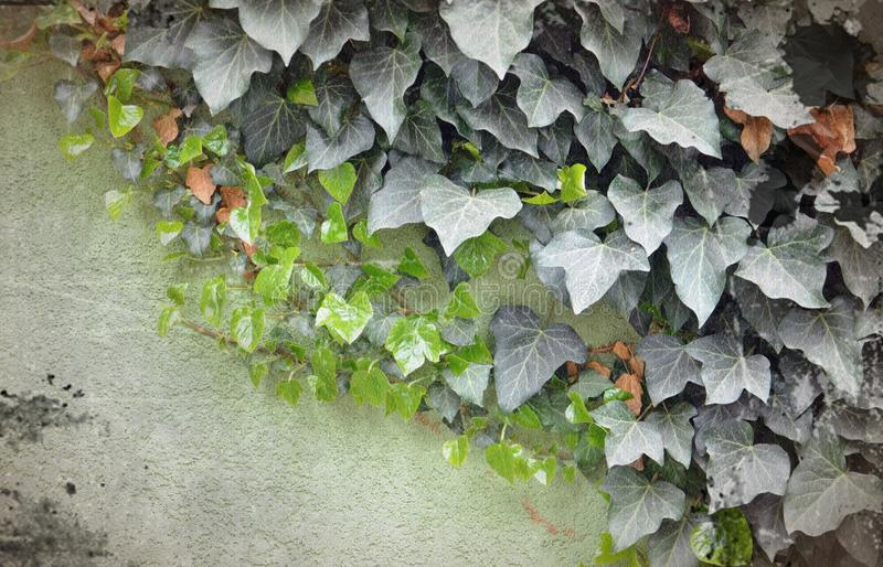 Ivy border on a dirty wall. Picture of a Ivy border on a dirty wall royalty free stock image