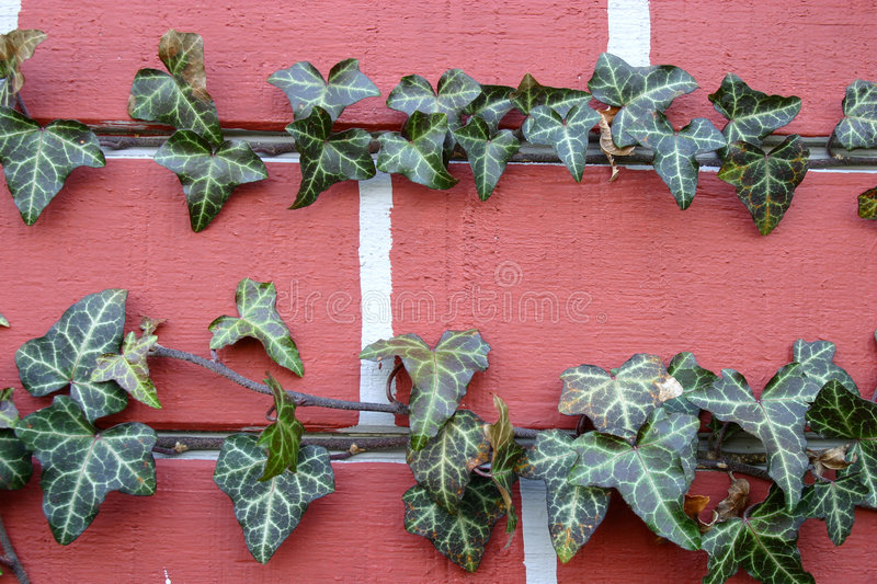 ivy, brick blisko obrazy royalty free