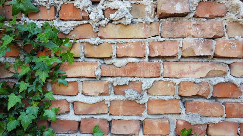 Ivy on the brick wall stock photography