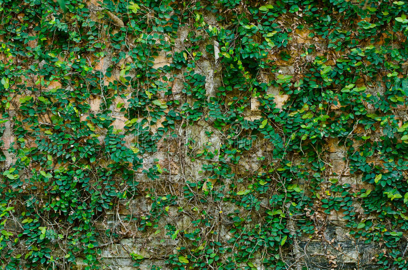 Download Ivy on brickwall stock photo. Image of brick, city, vintage - 21912354