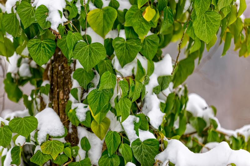 Ivy in snow. Ivy buried with snow in winter time royalty free stock photography
