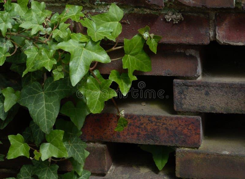 Ivy ściany Zdjęcie Royalty Free