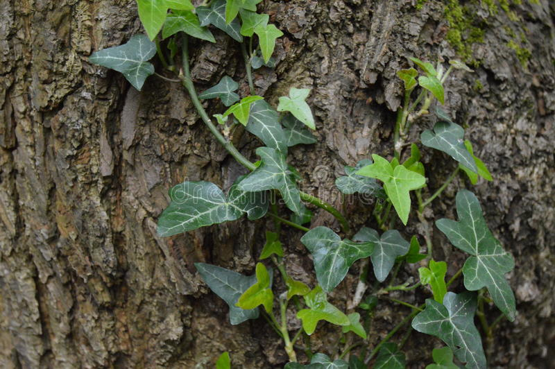 Ivy climbing a tree. Ideal as a background ivy on a tree stock photo