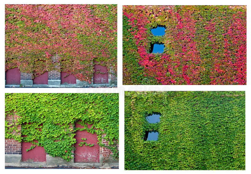 Ivy Collage royalty free stock photo