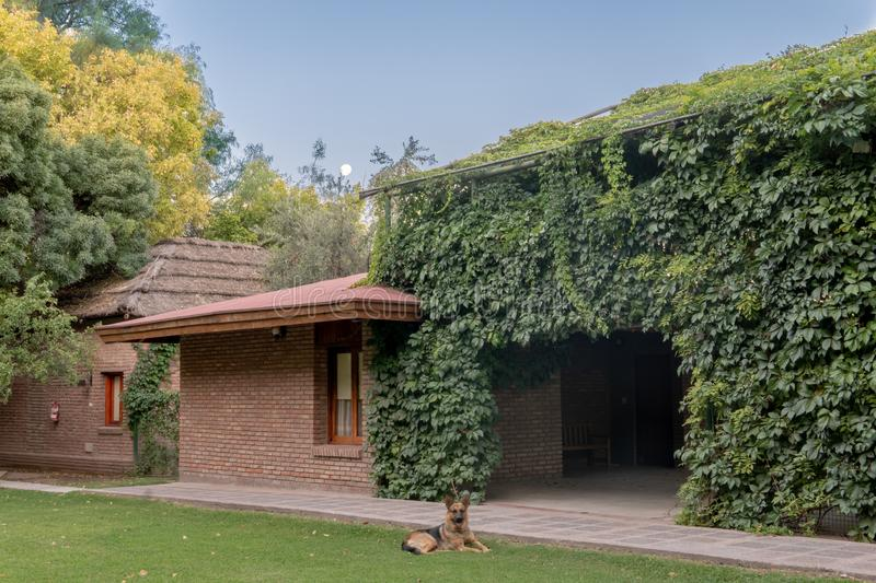 Ivy Covered Building with Dog. In front and moon setting in back, architecture, argentina, europe, home, latin, america, lujan, de, cuyo, mendoza, nature stock photos