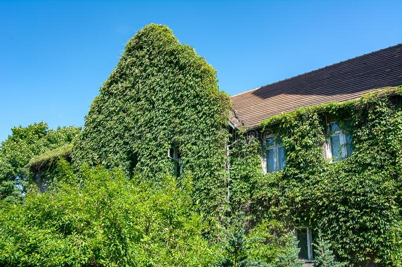 Ivy-covered facade of the building. Wild green ivy stock photos