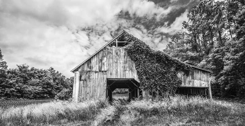 Ivy Covered Tobacco Barn fotografia stock