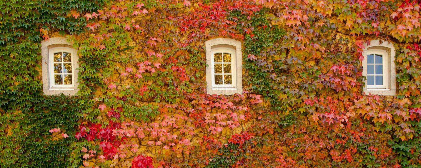 Ivy Covered Wall. Panoramic Composition of Boston Ivy Covered Wall With Three Windows in Fall Color royalty free stock image
