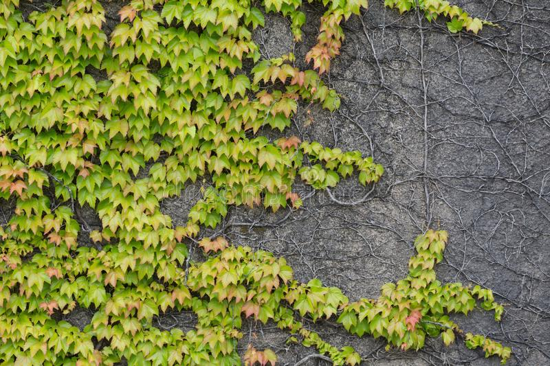 Ivy covered wall. For texture backgrouns use royalty free stock photos
