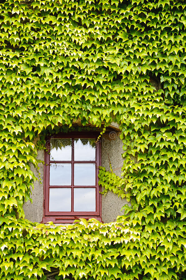 Download Ivy Covered Wall And Window Stock Photo - Image: 25927128