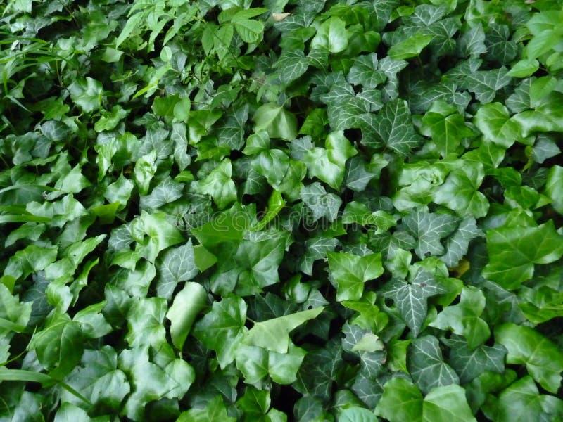 Ivy Covering verde una terra immagine stock libera da diritti