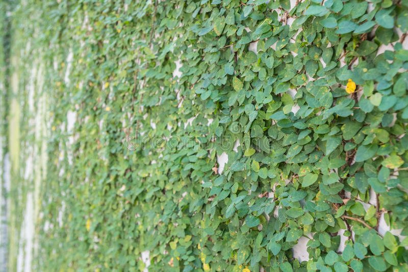 Ivy Covering Wall immagine stock libera da diritti