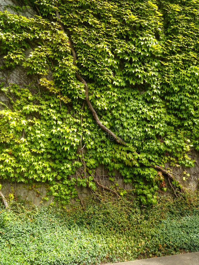 Ivy Covering Wall verde immagine stock