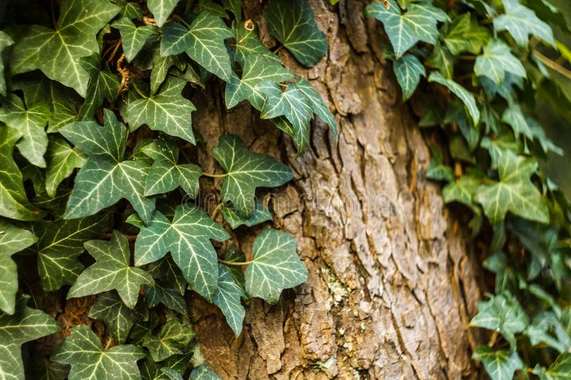 Ivy Covers Tree Trunk fotografie stock
