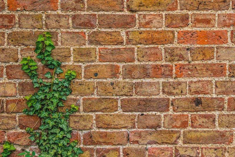 Ivy Creeping inglesa acima de uma parede de tijolo vermelho imagem de stock royalty free