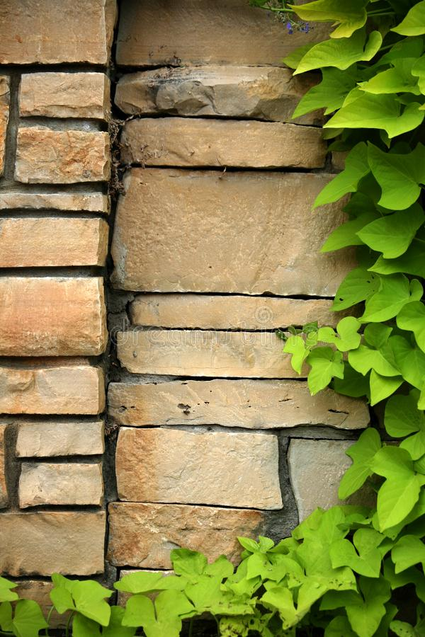 ivy flizu wspinaczkowa ściany obraz stock