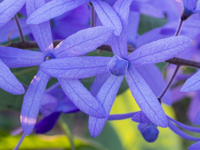 Ivy Flower Blooming porpora fotografie stock